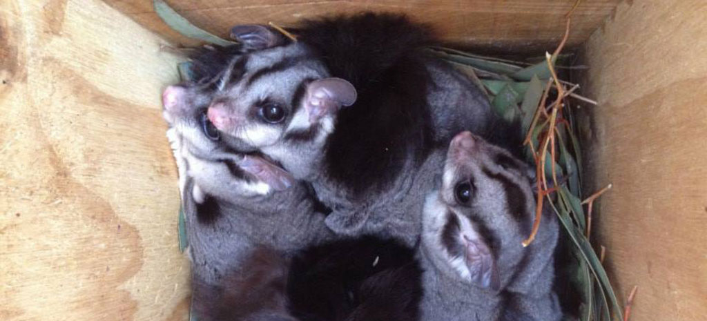 Squirrel glider family in a nest box — at Cowra - NSW 2794