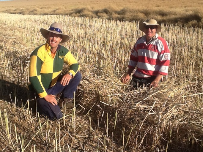 Inspecting a narrow windrow left behind while harvesting canola