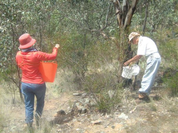 Collecting Varnish Wattle Seed (Acacia verniciflua)