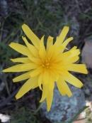 Microseris lanceolata (Yam Daisy)